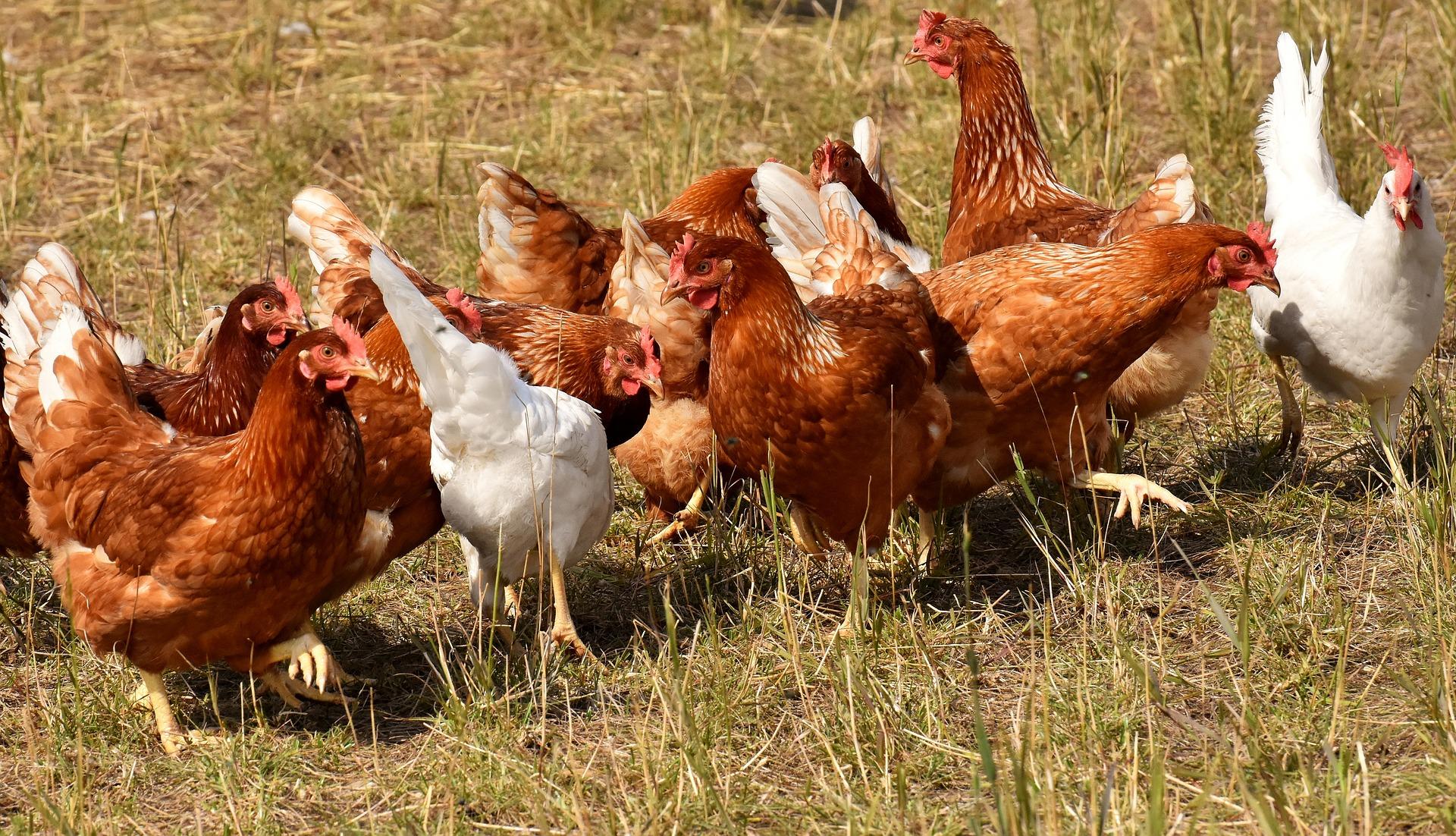 Forslag om hønsehold lempet efter dialog